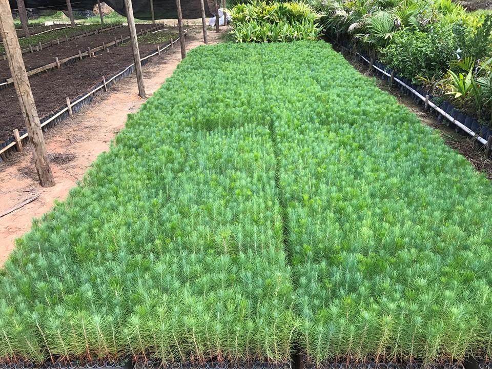 Produtores da Região Serrana irão receber mudas de Pinus distribuídas pelo Estado